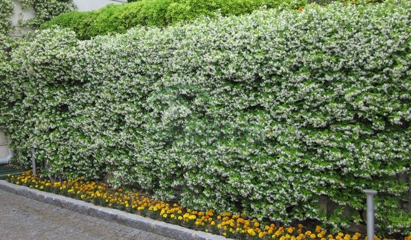 Rincospermum jasminoides