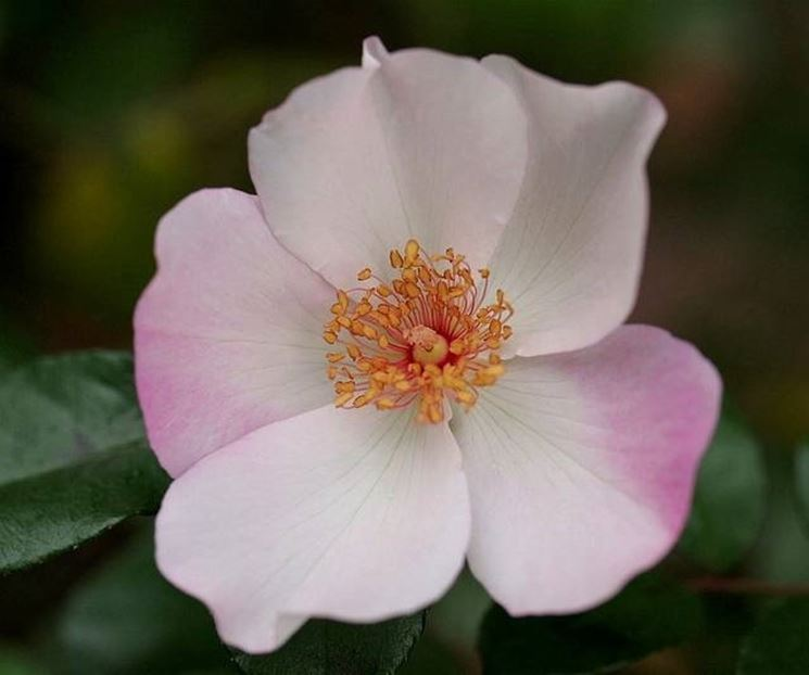 rosa botanica