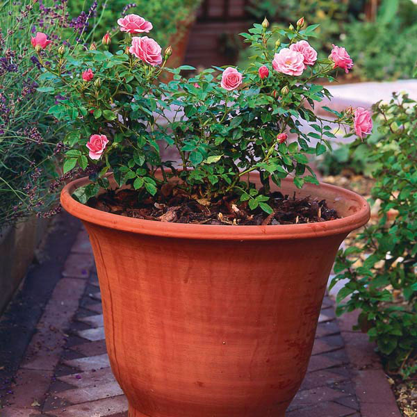 rosa patio in vaso