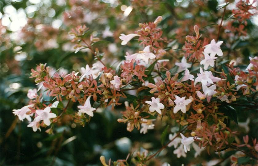 fiori e foglie abelia grandiflora