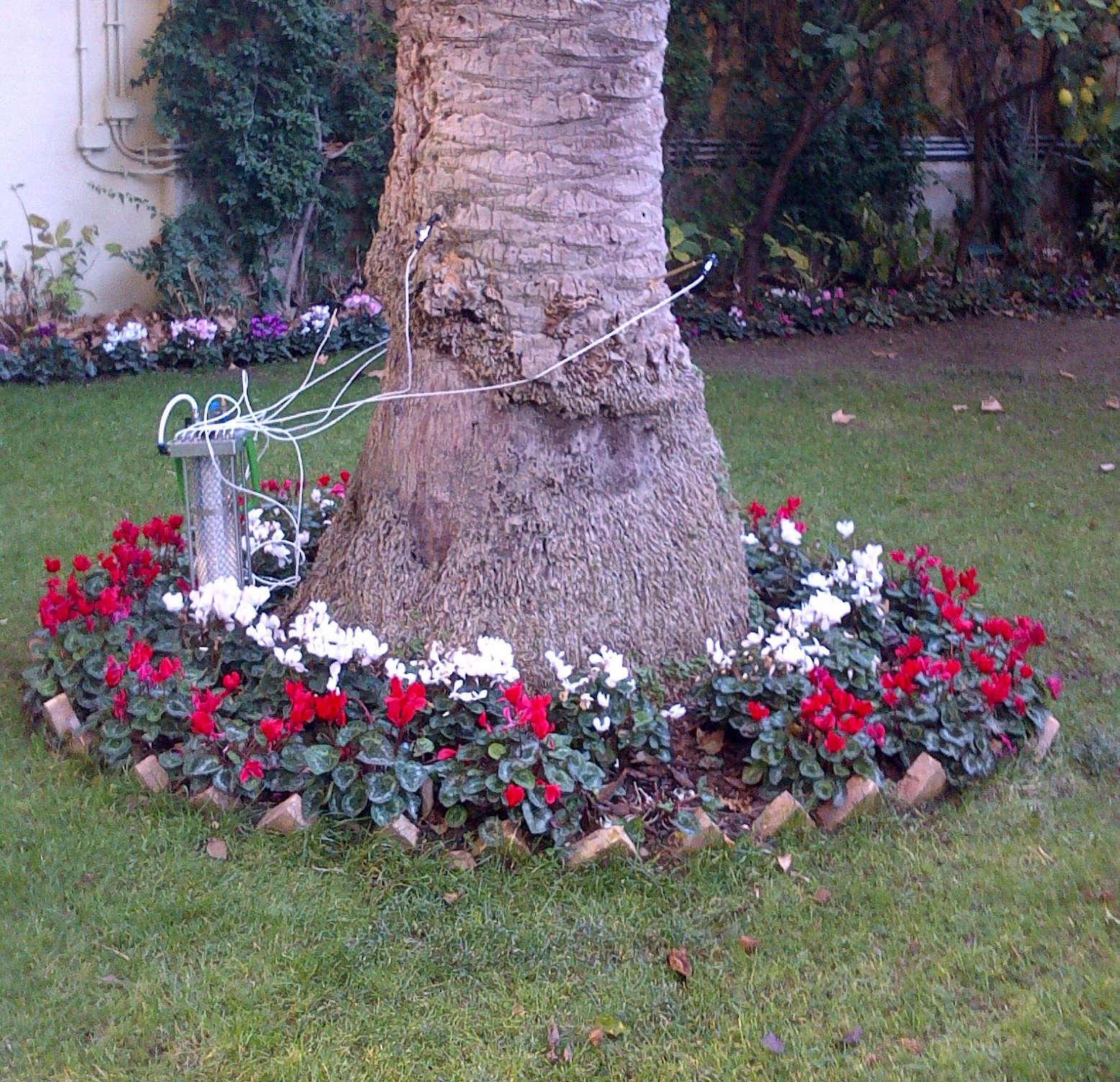 endoterapia alberi roma: esemplare di palma delle canarie