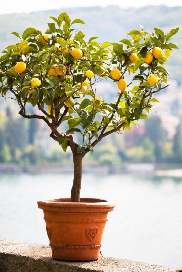 concimazione agrumi: limone in vaso
