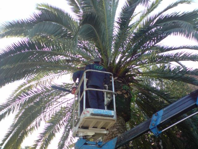 potatura e trattamento palma