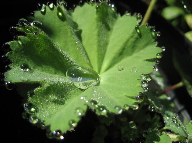 folgia di erba stella con goccioline di acqua