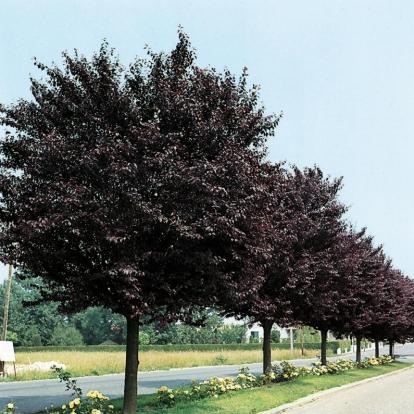 Prunus Cerasifera 'Atropurpurea' (o Pissardii)